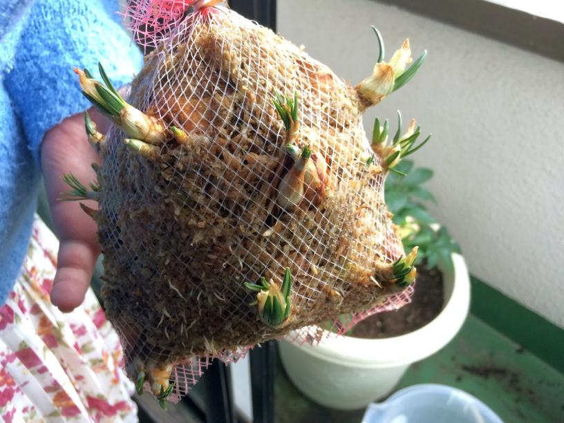 クロッカスの芽の先が黄緑色っぽくなってきています